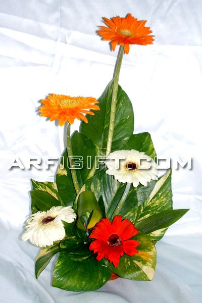 Send Thailand Gerbera to Bangladesh, Bangladesh Newspaper, Bangladeshi gift, send gifts to bangladesh, send gift to bangladesh